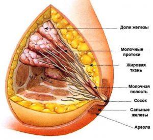 Женская грудь: анатомия, внутреннее строение, изменения