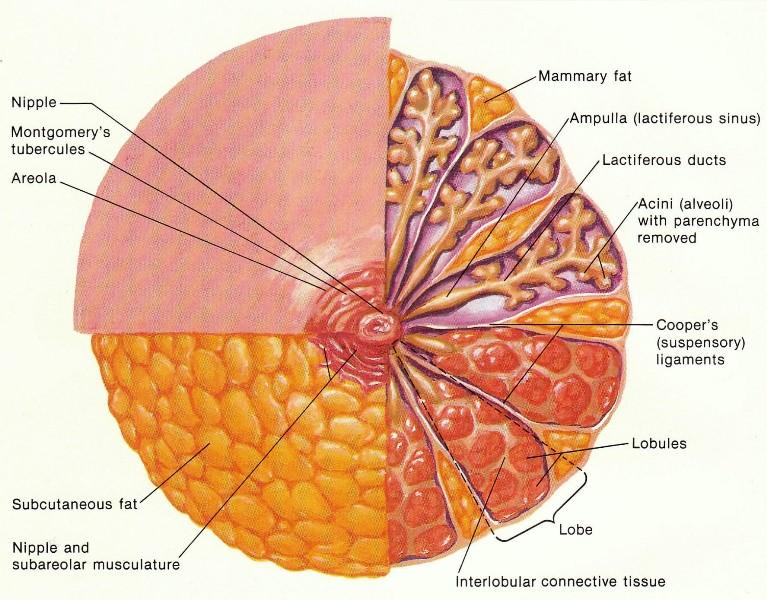 строение женской груди фото