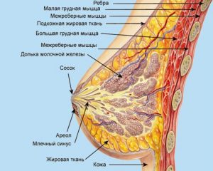 Характеристика строения женской груди
