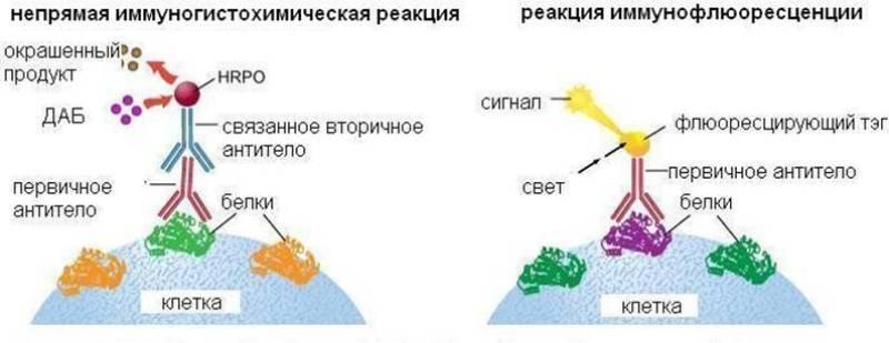 Для каких целей необходимо иммуногистохимическое исследование